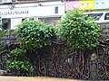 HK Sai Ying Pun ML 般咸道 Bonham Road trees Aug 2016 DSC 003.jpg