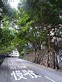 HK Sheung Wan 醫院道 Hospital Road Banyan trees Aug 2016 DSC 001.jpg