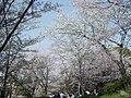 Hanami in Minami Park.jpg