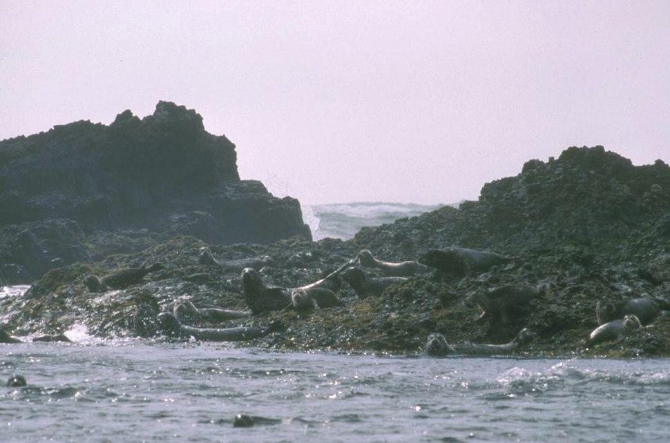 Harbor seals at haulout