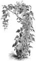 Haricot d'Alger noir Vilmorin-Andrieux 1883.png
