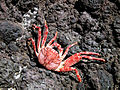 Hawaii-red-crab.jpg