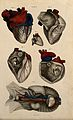 Heart; six figures, with blood-vessels and nerves indicated Wellcome V0008385ER.jpg