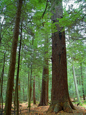 Cook Forest State Park - Old growth forest in the park