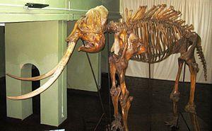 National Museum of Colombo - Heiyantuduwa Raja (elephant) Skeleton at  National Museum of Colombo, Sri Lanka