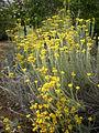 Helichrysum splendidum 1c.JPG