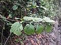 Helicteris isora 150.jpg