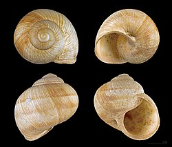 Une coquille d'escargot de Bourgogne vue sous différents angles.