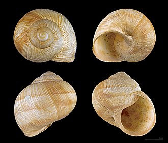Helix pomatia -  View of a shell of Helix pomatia