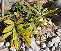 Helleborus niger - GBA Viote 09-16.jpg