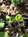 Hepatica nobilis sl6.jpg