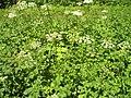 Heracleum sphondylium Wiesen-Bärenklau Blätter und Blüten.jpg