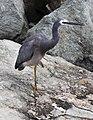 Heron on the rocks-02and (3411500422).jpg