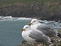 Herring Gulls, Coumeenoole Bay, Kerry, Ireland.jpg