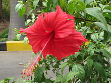 Hibiscus flower and leaves2.JPG