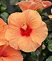 Hibiscus orange.JPG