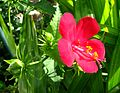 Hibiscus phoeniceus (5228624376).jpg