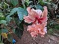 Hibiscus rosa-sinensis 23.jpg