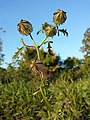 Hibiscus trionum sl45.jpg