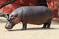 Hippopotamus at Nehru Zoological park, Hyd.jpg
