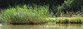 Hořejší Kařezský rybník, detail na rostliny.jpg