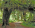 Hoh Rain Forest, Olympic National Park, Washington State, 1992 - Cropped 1.jpg