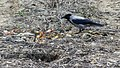 Hooded Crow (34832714843).jpg