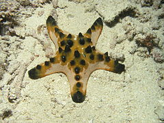 Horned Sea Star, Bunaken Island.jpg