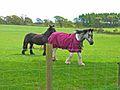 Horses at East Keillor - geograph.org.uk - 177168.jpg