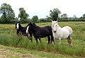 Horses in Scoulton, Norfolk, England.jpg