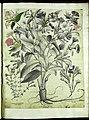 Hortus Eystettensis, Vorzeichnungen (MS 2370 2952829) -Autumnalis,2,3.jpg
