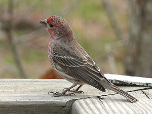 A male House Finch (Carpodacus mexicanus) perc...