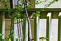 House finch (41305999644).jpg