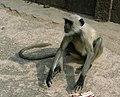 Human Langur monkey, Orchha, Madhya Pradesh, India.jpg