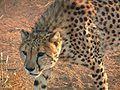 Hungry Cheetah.jpg
