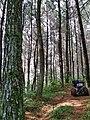Hutan pinus1.jpg