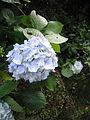 Hydrangea at Kuragari-touge2.jpg