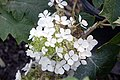 Hydrangea quercifolia Pee Wee 7zz.jpg