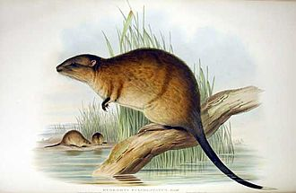 Lakes Argyle and Kununurra Ramsar Site - Rakali, or water-rat