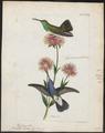 Hylocharis lactea - 1820-1860 - Print - Iconographia Zoologica - Special Collections University of Amsterdam - UBA01 IZ19100479.tif