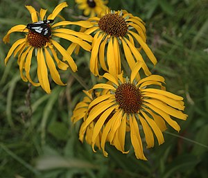 Hymenoxys hoopesii - Image: Hymenoxys hoopesii flora 1
