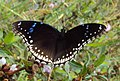 Hypolimnas bolina - Great Eggfly at Thillankeri 04.JPG
