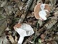 Hypomyces ochraceus 555741.jpg