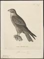 Hypotriorchis severus - 1700-1880 - Print - Iconographia Zoologica - Special Collections University of Amsterdam - UBA01 IZ18200185.tif
