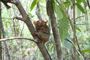 A Philippine Tarsier, taken at the Philippine ...
