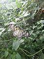 Idea Leuconoe (Large Tree Nymph) - Chester Zoo 03.jpg