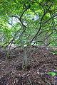 Ilex serrata 'Bonfire' - Stanley M. Rowe Arboretum - DSC03422.JPG