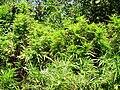 Illegal cannabis field before burning.jpg