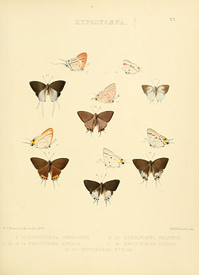 Illustrations of diurnal Lepidoptera 22.jpg