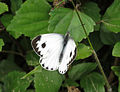 Indian Cabbage White Butterfly.jpg